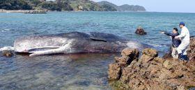 座礁したマッコウクジラ=南さつま市笠沙町片浦
