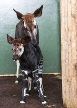 ヘンリー英王子の婚約者と同じ「メーガン」と名付けられた、ロンドン動物園のオカピの赤ちゃん(手前)(ロンドン動物学会提供・AP=共同)
