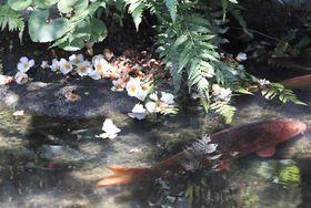 ニシキゴイがゆったりと泳ぐ水辺を彩るナツツバキの花