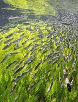 北海道標茶町の西別川に放流され、群れを成して泳ぐシロザケの稚魚=13日