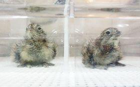 ニホンライチョウのひな2羽誕生 国の人工繁殖で初めて