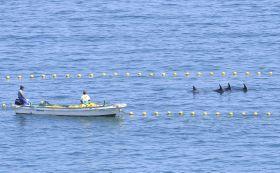 網の中に追い込まれたハナゴンドウ=18日、和歌山県太地町