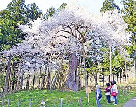 史跡慧日寺跡の木ざし桜
