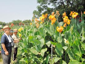 赤や黄の色鮮やかな花を咲かせている熱帯地方原産のカンナ=さぬき市長尾東
