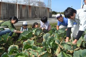 キャベツの収穫作業を楽しむ参加者=磐田市高見丘