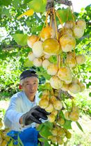 夕日の丘農園のギンナン収穫が進む=大江町本郷