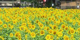 数千本のヒマワリが咲き誇っている(京都市右京区京北下中町)