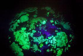 青色の光に反応して緑色に光るサンゴ(基礎生物学研究所提供)