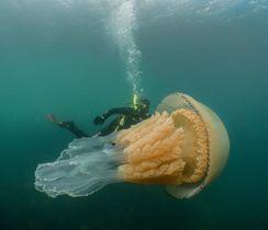 英南西部沖で生物学者らが発見した巨大クラゲ。後ろにいるダイバーの背丈よりも大きく見える(@LizzieRDaly提供・英PA通信=共同)