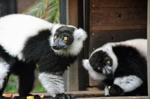 (416)パンダのようなサル クロシロエリマキキツネザル