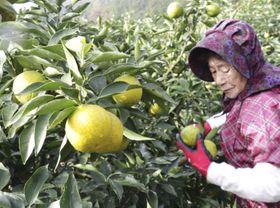和歌山県北山村で始まったジャバラの収穫=16日
