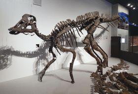 「恐竜博2019」で展示される「むかわ竜」の全身復元骨格。右下は実物化石=12日午後、東京・上野の国立科学博物館