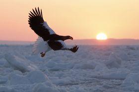 国後島(奥)から昇る朝日を背景に、流氷の上を飛ぶ国の天然記念物オオワシ=19日早朝、北海道・知床の羅臼沖