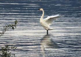 琵琶湖に今季初飛来したコハクチョウ(滋賀県長浜市湖北町今西)=湖北野鳥センター提供