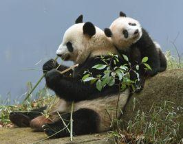 ジャイアントパンダのシンシン(左)とシャンシャン=16日、東京・上野動物園(東京動物園協会提供)