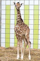 8日に生まれたアミメキリンの赤ちゃん=浜松市西区(浜松市動物園提供)