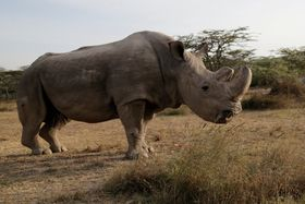キタシロサイ最後の雄、スーダン=2017年6月、ケニアのオル・ペジェタ自然保護区(ロイター=共同)