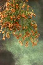 枝先の花から煙のように舞い立つスギ花粉(資料写真)