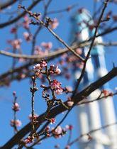 例年より2週間ほど早く開花したヒカンザクラ=尾鷲市の中部電力尾鷲三田火力発電所跡地で
