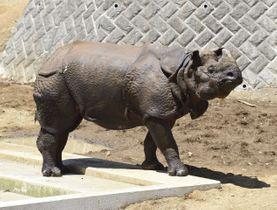 多摩動物公園が飼育するインドサイの雄(同園提供)