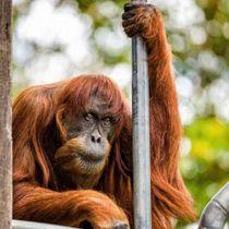 18日に死んだ世界最高齢のスマトラオランウータンのプアン(パース動物園提供・共同)