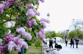 「第61回さっぽろライラックまつり」が始まり、札幌市の大通公園で鮮やかに咲いたライラック=15日午前