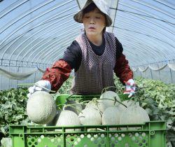 北海道夕張市で始まった「夕張メロン」の収穫=23日午前
