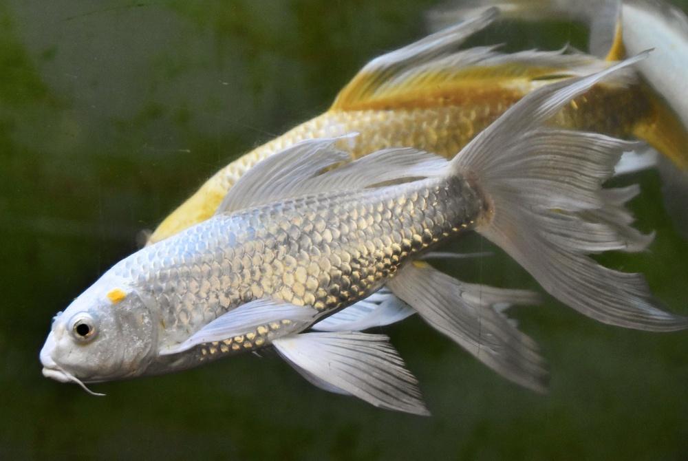 ゆったり泳ぐヒレナガニシキゴイ。手前は銀色、後ろは黄金色がまじる