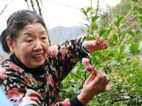 徳島県上勝町で「つまもの」の収穫作業をする女性=11月(いろどり提供)