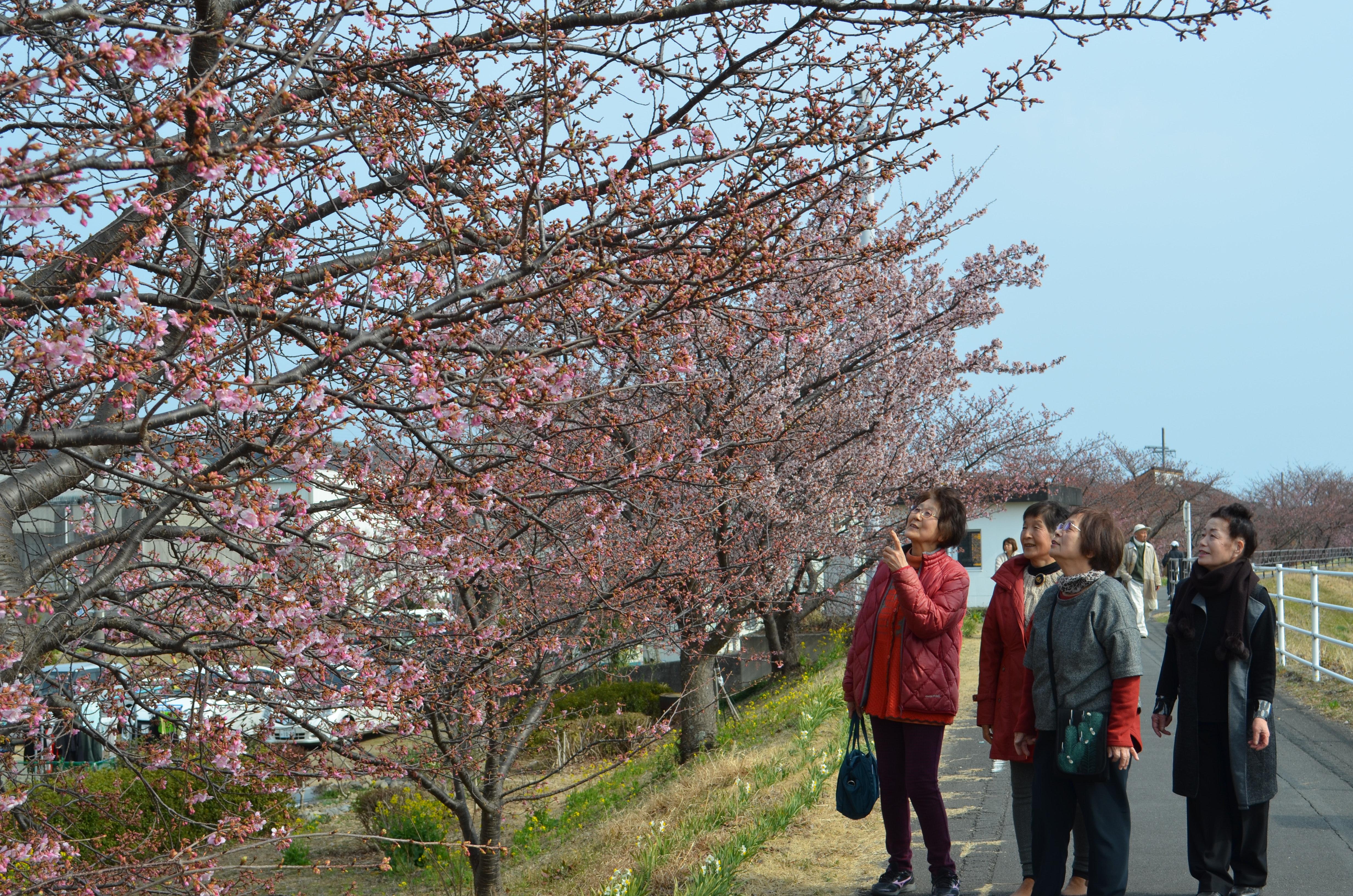 早咲きの河津桜を楽しむ花見客。土手には越前水仙も植えられている=2月25日、焼津市策牛