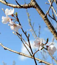 少しずつ花を付けている宇宙桜=薩摩川内市入来の入来小学校