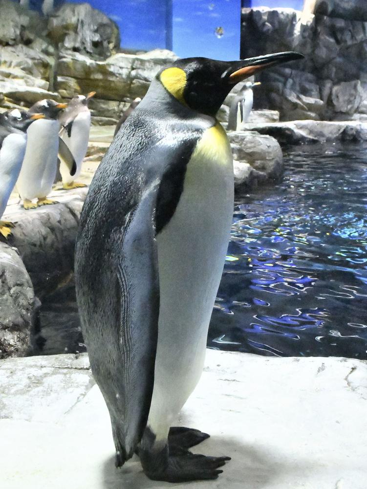 手前のキングペンギンは陸にいることが多いようだ
