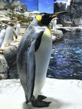 (565)水中を泳ぐ 水面をとぶ ペンギン・亜南極ゾーン