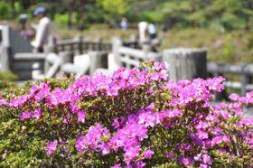 えびの高原のつつじケ丘を彩るミヤマキリシマ=25日午前、えびの市