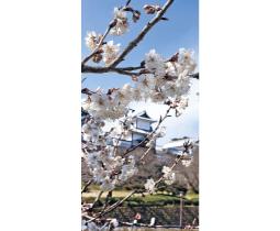 春の陽気に誘われ開花が進んだカラミザクラ=兼六園