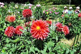 色鮮やかな花が咲き競う湯遊ランドはなわダリア園