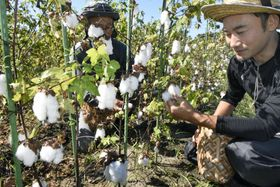 「伯州綿」の摘み取り作業=鳥取県境港市
