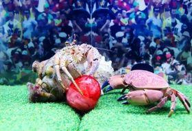 ラグビーボールに見立てた餌入りボールを取り合うヤドカリとカニ=神戸市須磨区若宮町1(撮影・斎藤雅志)