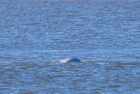 ロンドンのテムズ川に出現したシロイルカとみられる動物=25日(ロイター=共同)
