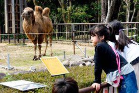 県立とべ動物園で一般公開が始まったフタコブラクダのウラン=21日午後、砥部町上原町