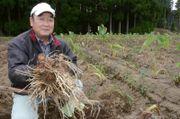 収穫した鶴の子芋を手にする村上公夫さん