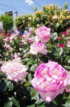 地元住民が丹精するバラ園。7カ所で計50品種約800本が植えられている=丹波市柏原町柏原
