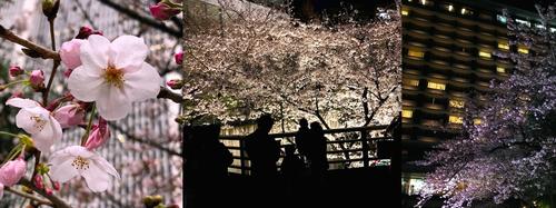 濡れた桜 家族連れのシルエット ホテルオークラの夜桜