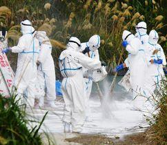農場近くの道に消石灰をまく防護服姿の作業員=1月8日午後2時3分、うるま市(田嶋正雄撮影)