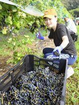 赤ワイン用のブドウ「フジノユメ」を収穫する高知大生(南国市稲生)