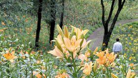 見頃を迎えた早咲きのユリ=12日、所沢市のところざわゆり園