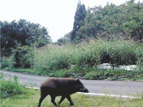 尾花沢市の道路で目撃されたイノシシ=2017年9月(山形県提供)