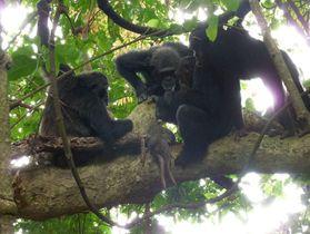 ヒョウが狩ったとみられる獲物を囲むチンパンジー=2016年11月、タンザニアのマハレ山塊国立公園(京都大の中村美知夫准教授提供)