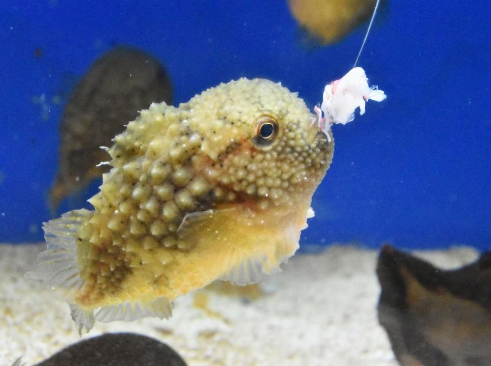 コンペイトウはお腹に吸盤があって、ガラスにくっついていることが多い。でも、笹井さんがえさを入れたら泳ぎだした