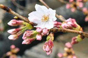 東京・靖国神社境内にある標本木で開花したソメイヨシノ=21日午前